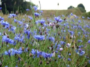A Cornflower Meadow