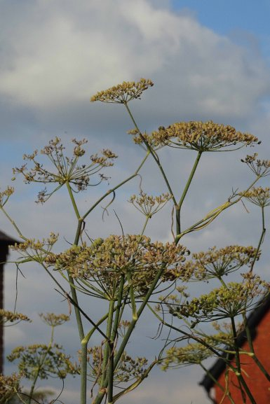 Angelica seed-heads against a crisp autumn sky