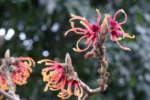 Witch Hazel's flame like flowers