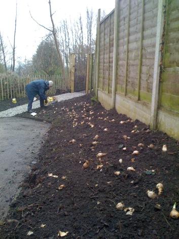 Planting the bulbs